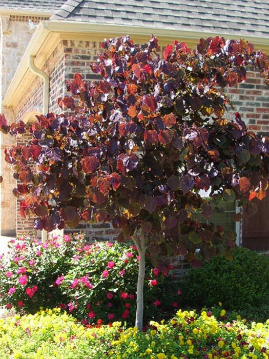 Forest Pansy Redbud Ornamental Trees Gardens To Go Dfw