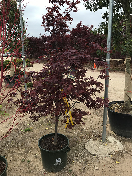 Japanese Maple Blood Good Ornamental Trees Gardens To Go