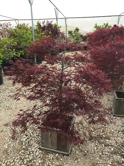 Japanese Maple Red Dragon Ornamental Trees Gardens To Go
