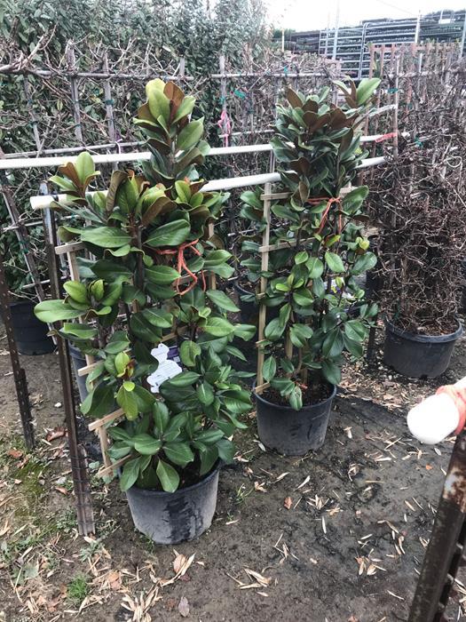 Teddy Bear Magnolia Espalier Ornamental Gardens To Go Dfw