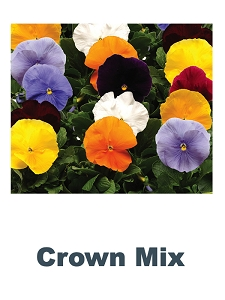 Crown Mix Pansy