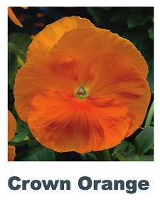 Crown Orange Flower