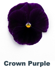 Crown Purple Pansy