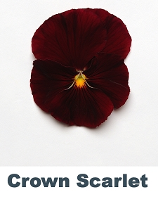 Crown Scarlet Pansy