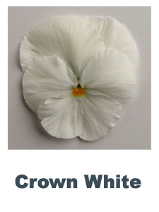Crown White Pansy