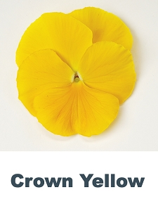 Crown Yellow Pansy