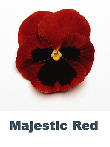 Majestic Red Pansy