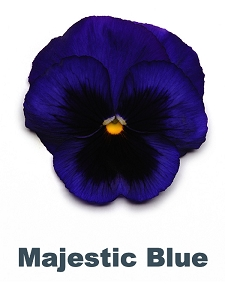 Majestic Blue Pansy