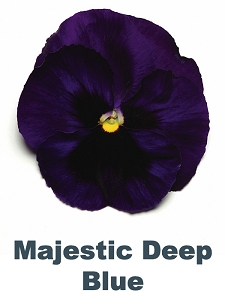 Majestic Deep Blue Pansy