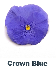 Crown Blue Pansy