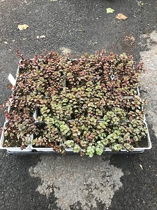 Dragon Sedum