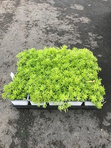Lemon Ball Sedum