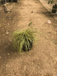 Variegated Carex